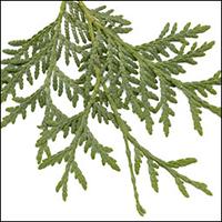 Eastern White Cedar  (10 stems)