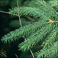 White Spruce  (10 stems)
