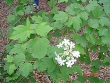 Highbush Cranberry (10 stems)
