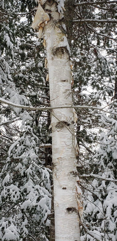 White birch (10 stems)