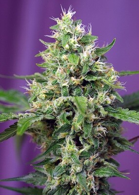 Sweet Amnesia Haze XL Auto 3 seeds