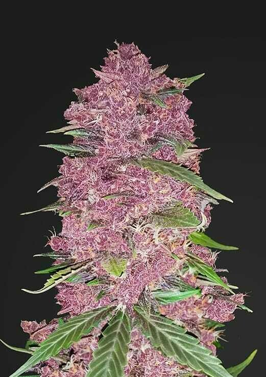 Purple Lemonade 5pcs