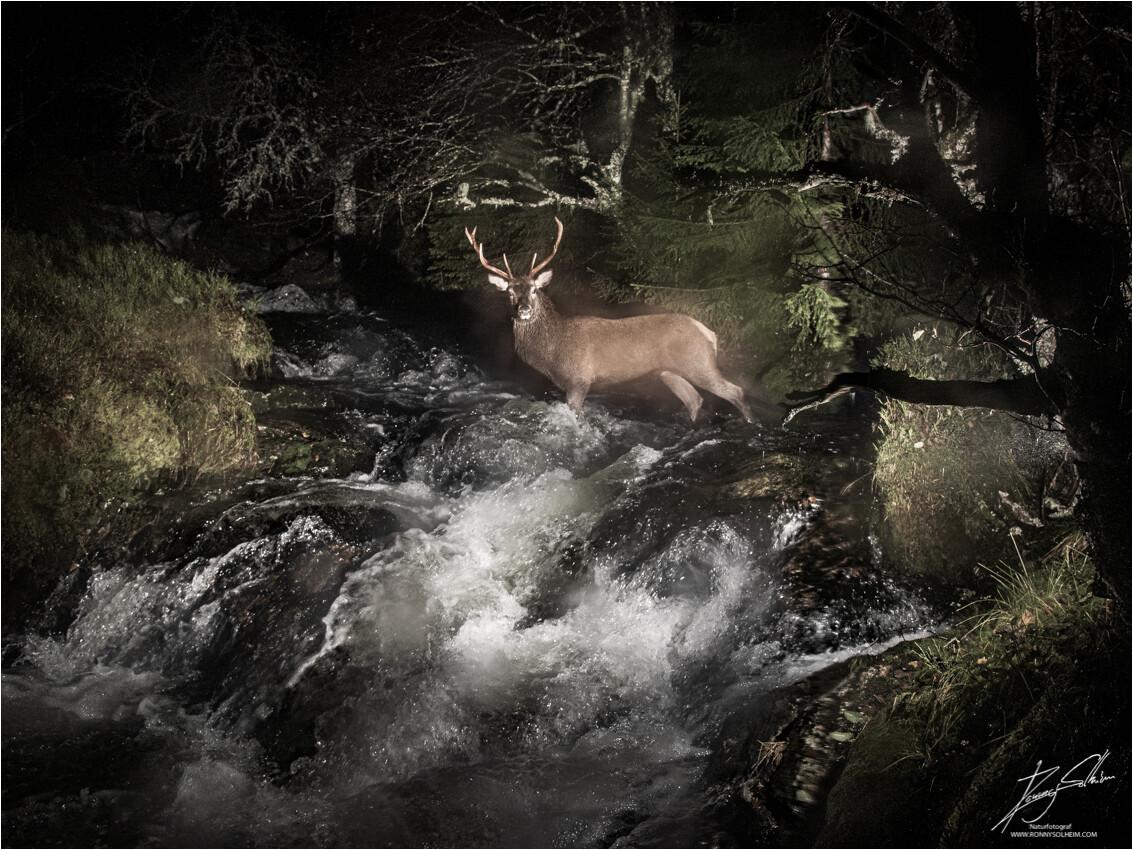 Bukken i elva