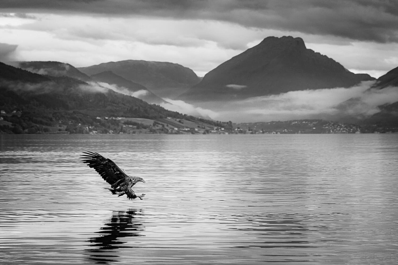 Ørna i Gloppefjorden