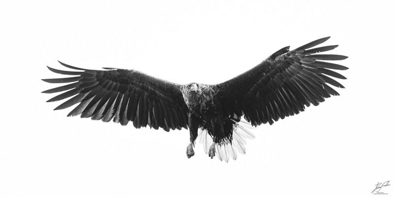 Havørn vingespenn