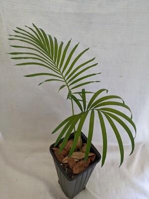 Hybrid Cycad; Cycas Revoluta x diannanensis