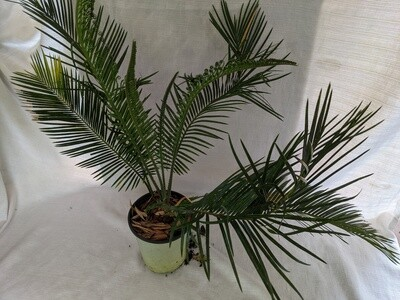 Hybrid Cycad; Cycas Revoluta x taitungensis