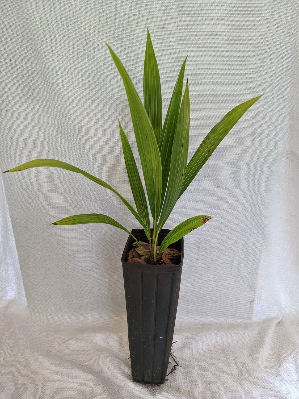 Beccariophoenix Alfredii High plateau cold hardy coconut palm