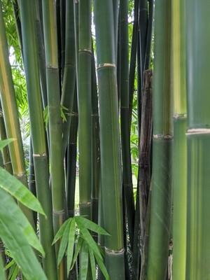Yin Yang bamboo Bambusa emiensis viridiflavus ***LOCAL PICKUP ONLY***