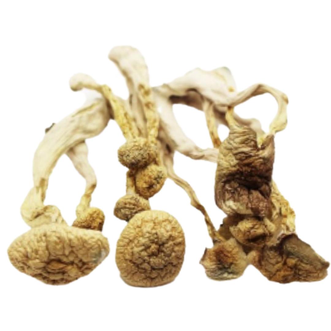 [Psilocybin] White Burma Magic Mushrooms