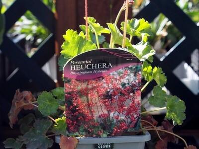 Heuchera Bressingham hybrids