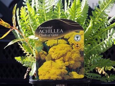 Achillea Cloth of Gold