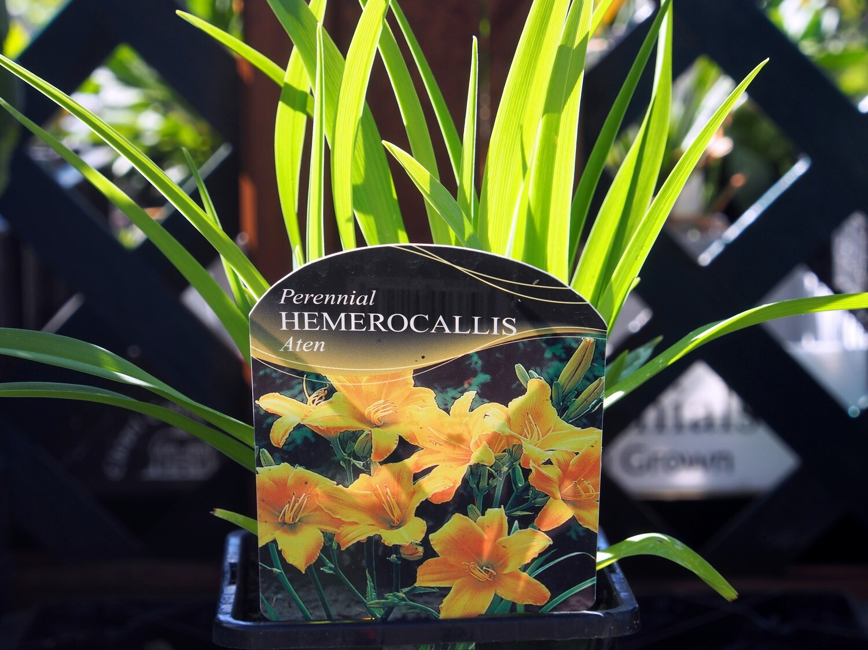 Hemerocallis Aten