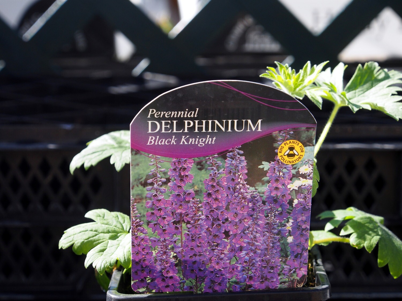 Delphinium Black Knight