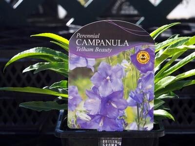 Campanula Telham Beauty