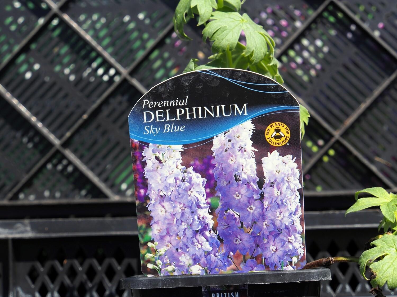 Delphinium M/Fountain Sky Blue