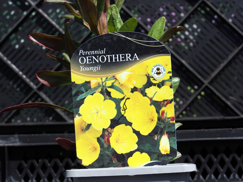 Oenothera Youngii