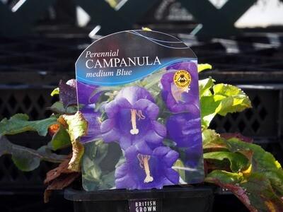 Campanula Medium Blue