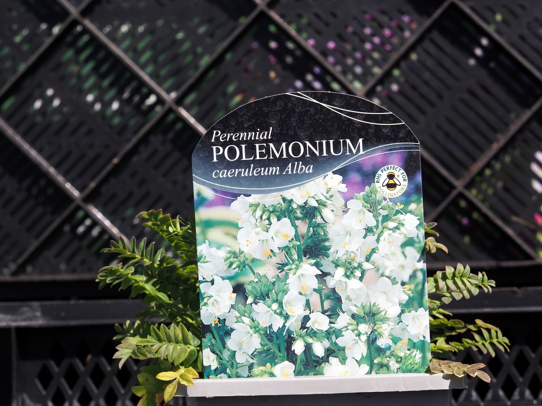 Polemonium caeruleum Alba