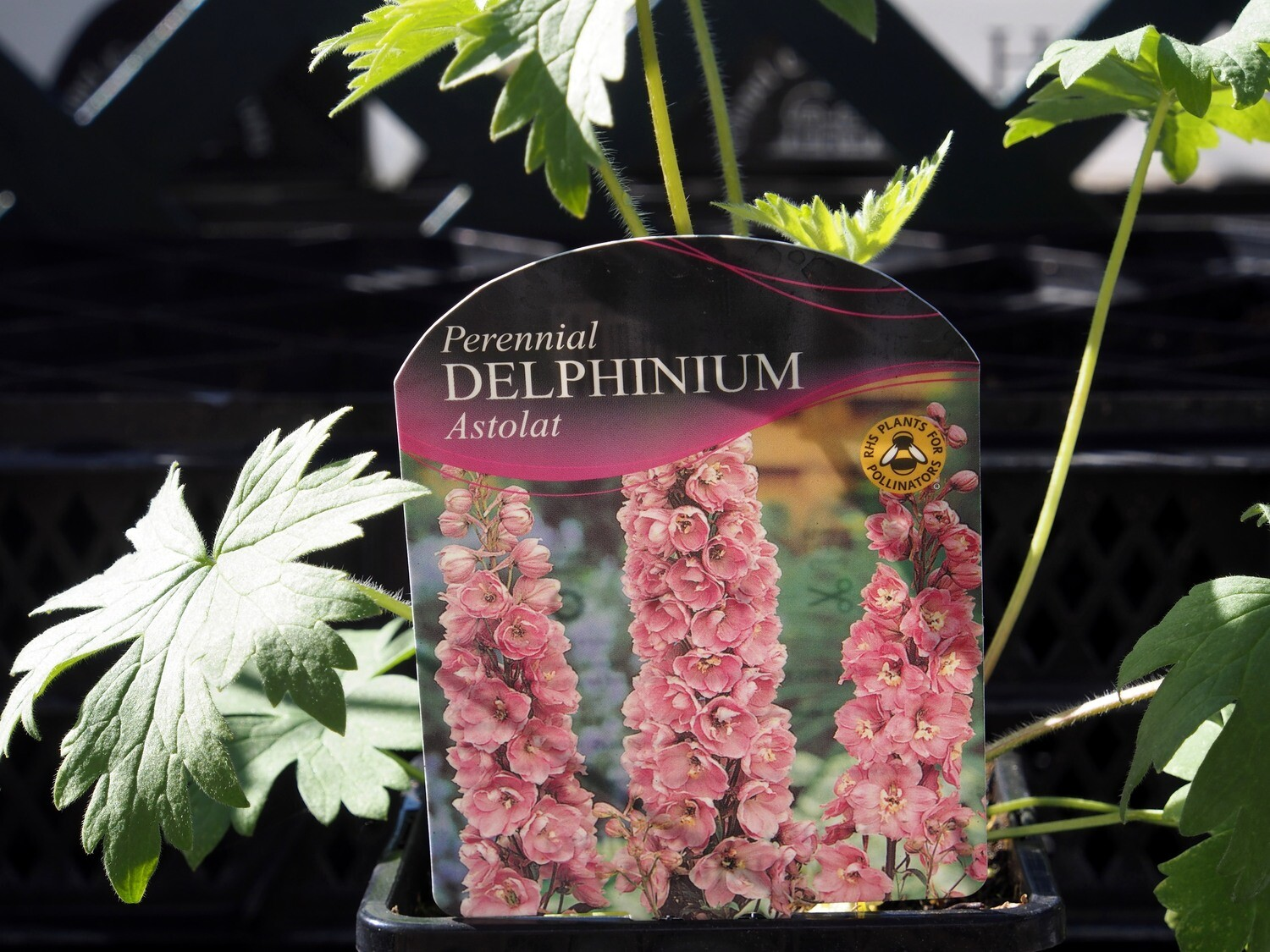 Delphinium Astolat Group
