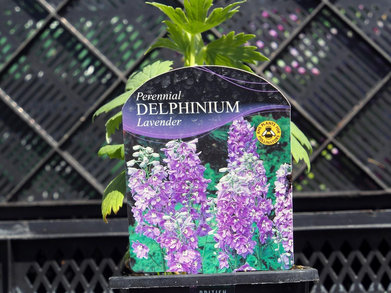 Delphinium M/Fountain Lavend