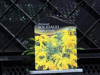 Solidago Cloth of Gold