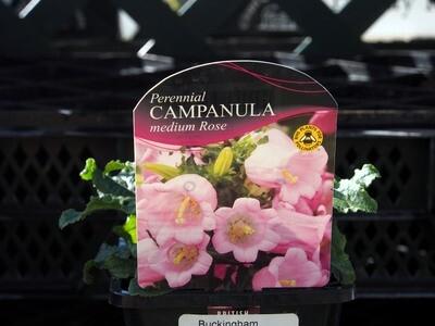 Campanula Medium Rose