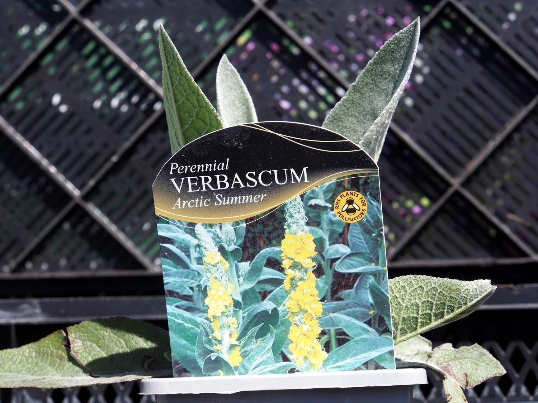 Verbascum Arctic Summer