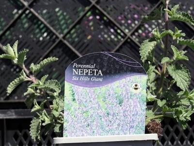 Nepeta Six Hills Giant