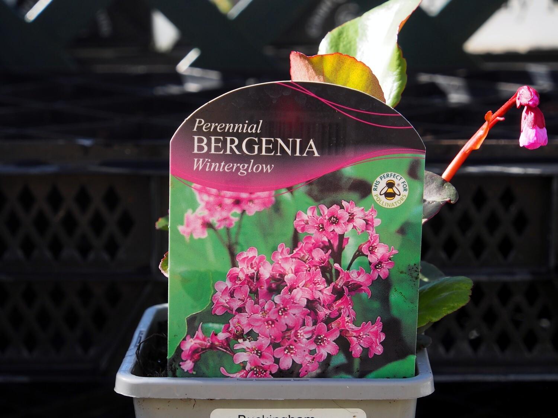 Bergenia Winterglow