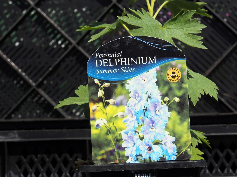 Delphinium Summer Skies