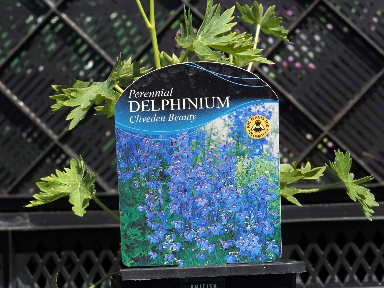 Delphinium Cliveden Beauty