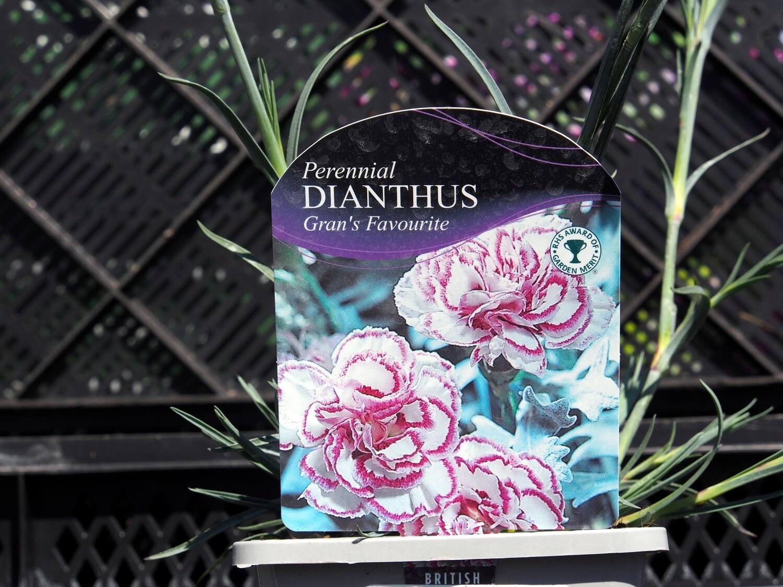Dianthus Grans Favourite