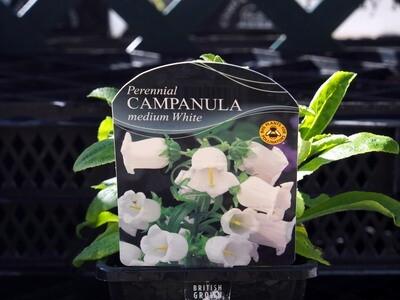 Campanula Medium White