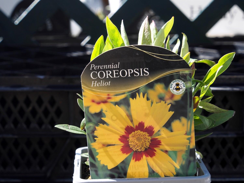 Coreopsis Heliot