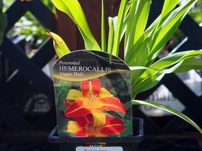 Hemerocallis Frans Hals