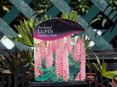Lupinus Gallery Pink