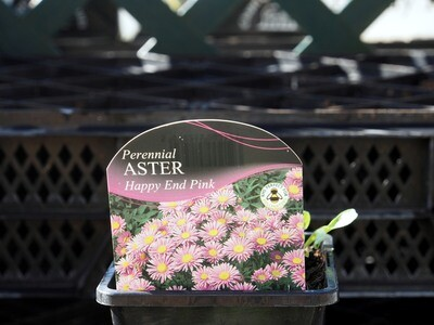 Aster Happy End Pink