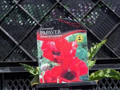 Papaver Beauty Livermere