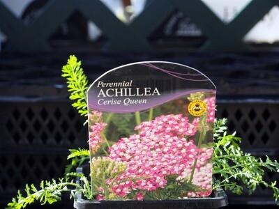 Achillea Cerise Queen