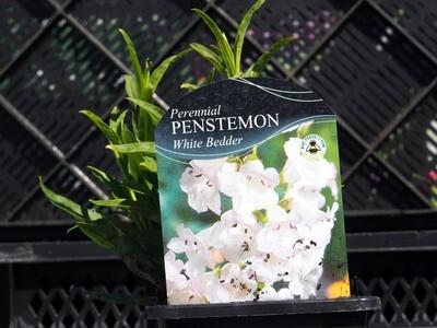 Penstemon White Bedder