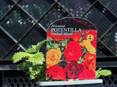 Potentilla Fireball Mixed