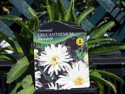 Leucanthemum Snowdrift