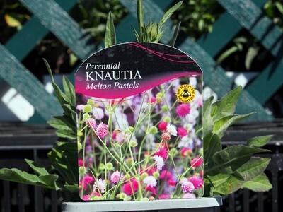Knautia Melton Pastels