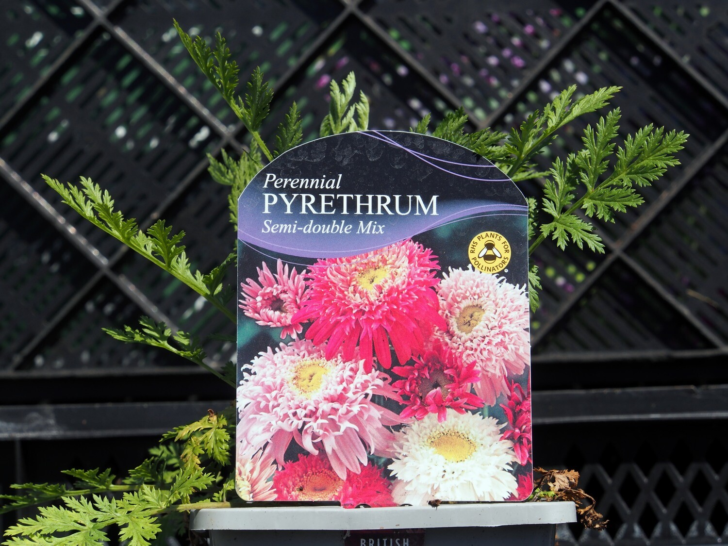 Pyrethrum Semi-double