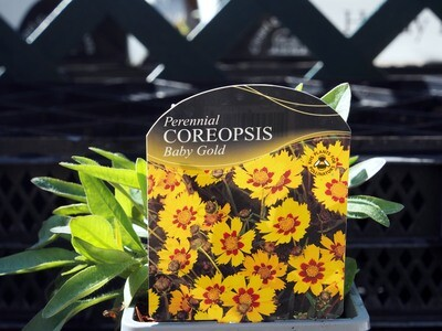 Coreopsis Baby Gold