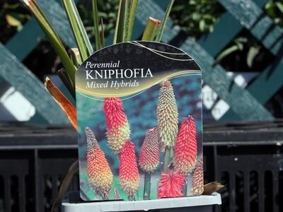 Kniphofia Mixed Hybrid