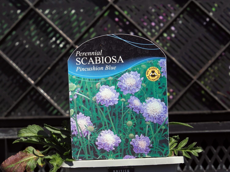 Scabiosa Pincushion Blue