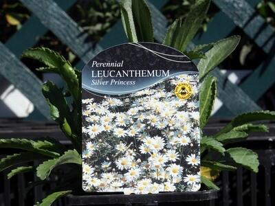 Leucanthemum SilverPrincess (Chrysanth Silver Princess)