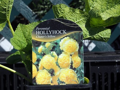 Hollyhock Chaters Yellow (Alcea)